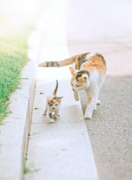 Calico Cat Breeds | The Tri-Color and Gorgeous