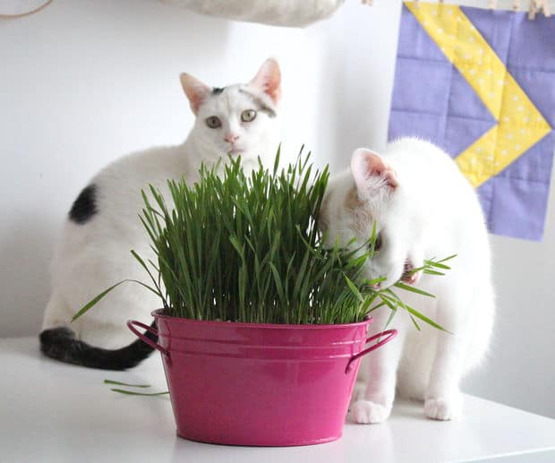 Why Do Cats Love Cat Grass Cats In Care