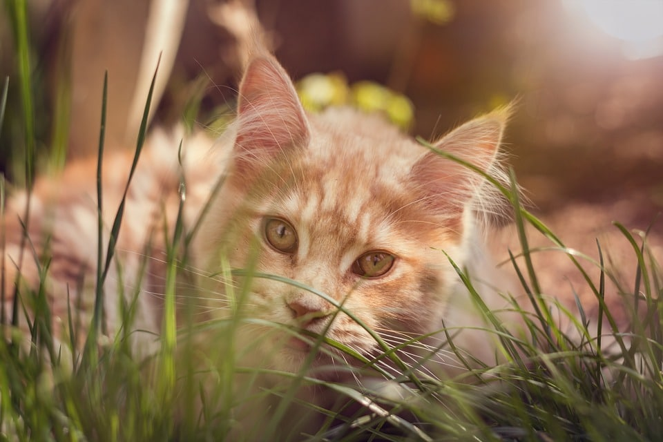 Why do Cats love Cat Grass?