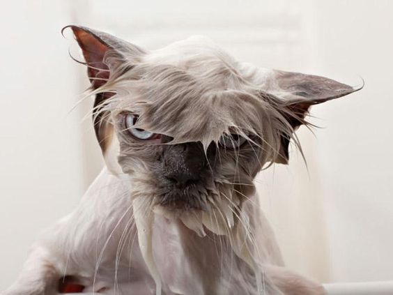 Photos of Cats Bathing Moments The Good and The Hard