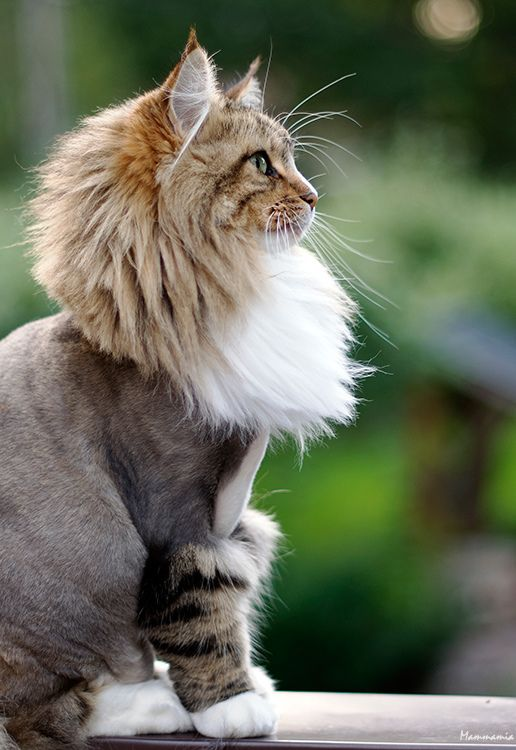 cat hair styles top strange and unique cat haircuts cats in care 1648