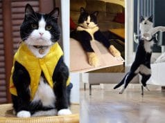 Reasons why Tuxedo cats Rock