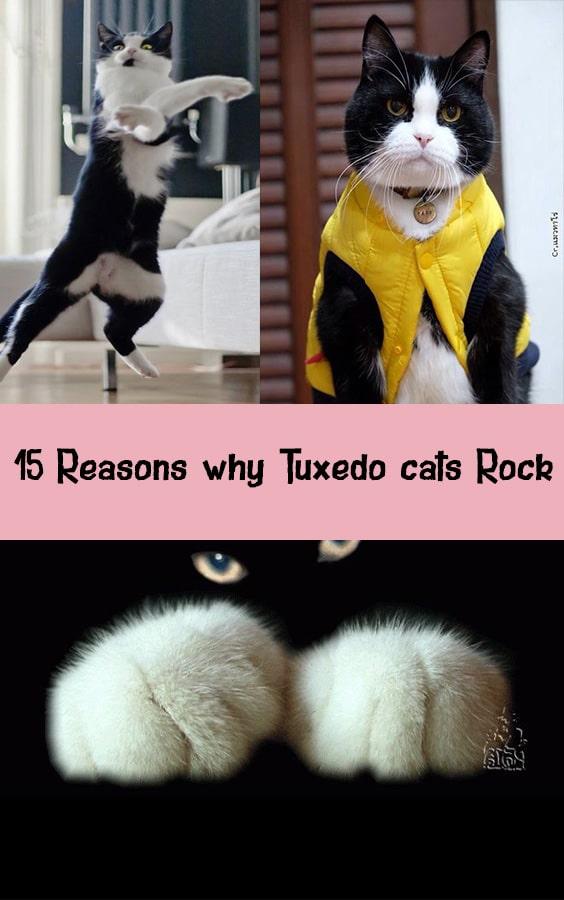 15 Reasons why Tuxedo cats Rock