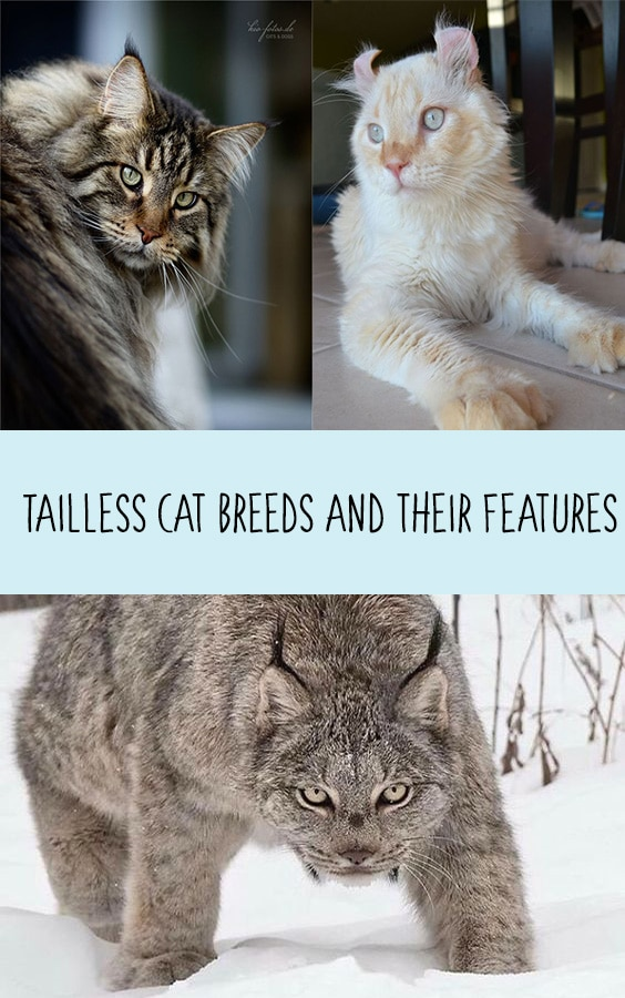 Tailless Cat Breeds and their Features