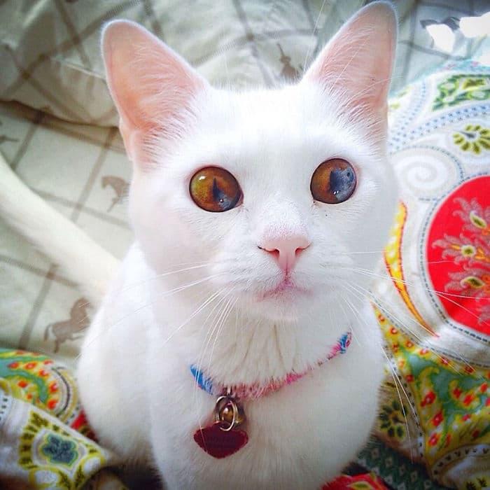 Odd Eyed Cats How Amazing!