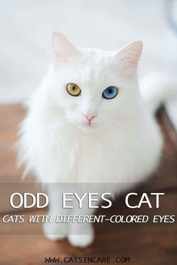 Odd eyes cats