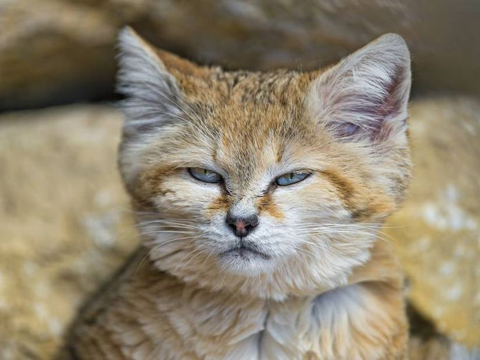Sand Cat , do cats love their owners