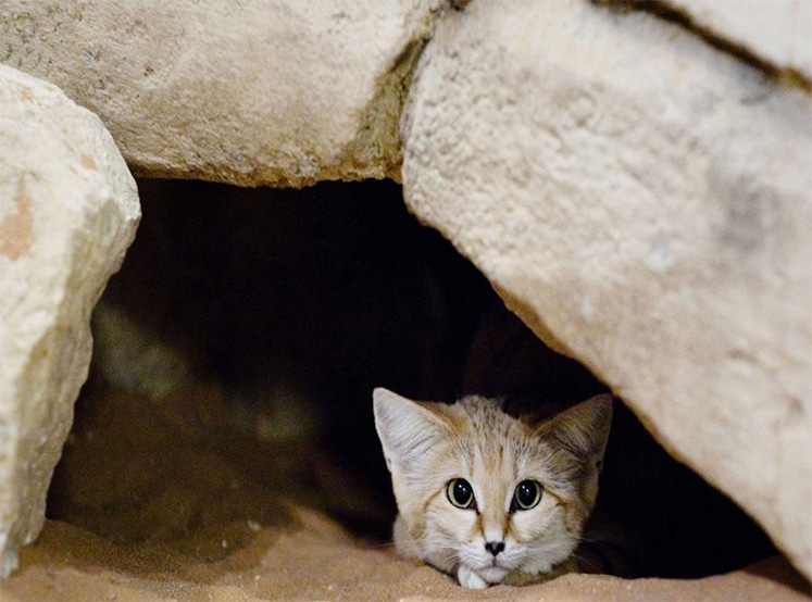 Sand Cat Facts