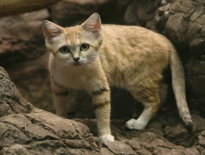 Sand Cat Facts And Personality Cats In Care