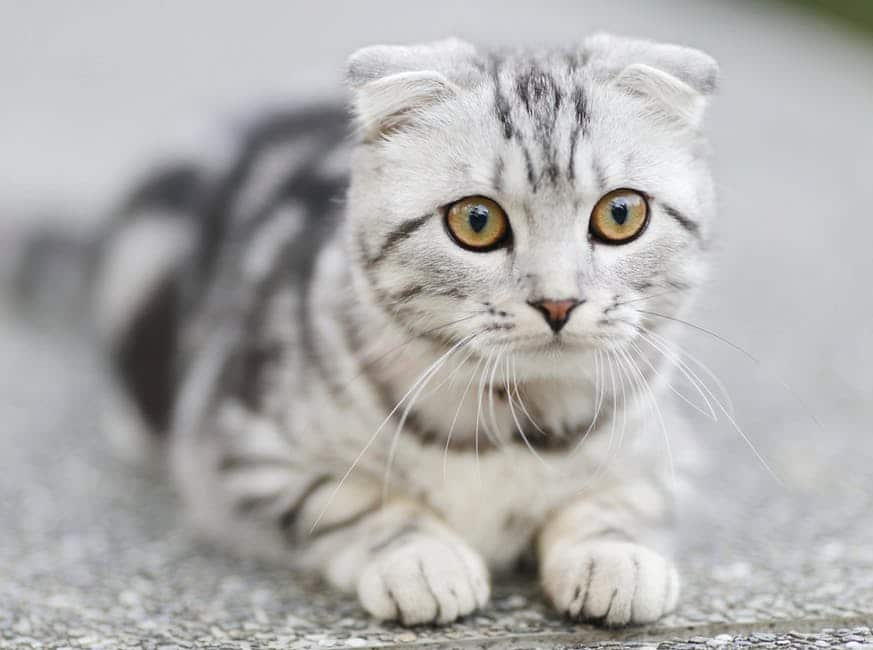 Scottish Fold Cat Breed : A Sweet Tempered Owl Cat