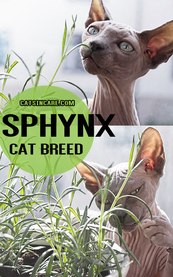 Sphynx Cat Breed – The Hairless and Extrovert