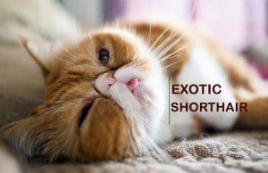 Exotic Shorthair