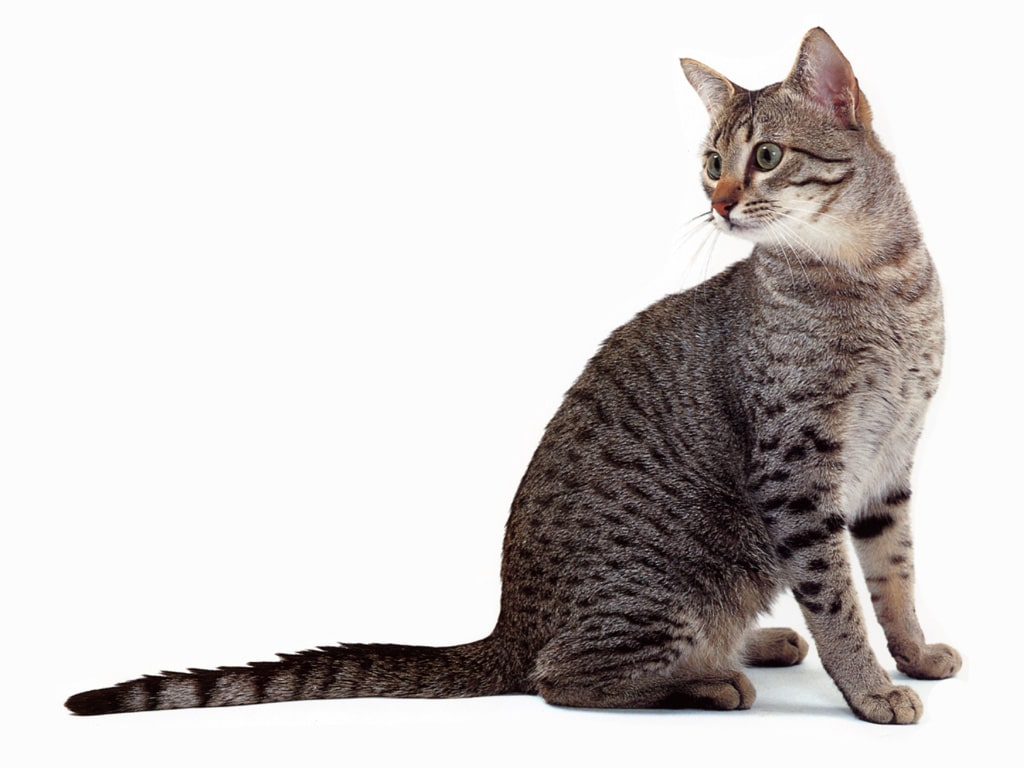 The Egyptian Mau – The Oldest Existing cat Breed