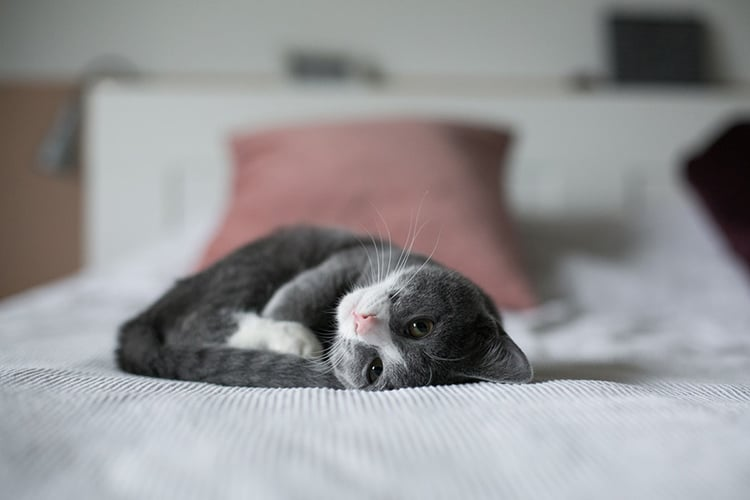How Long Does A Cat Stay In Heat And How To Beat The Heat In Cats?
