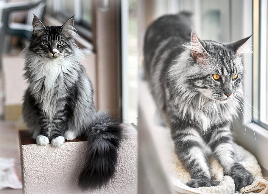 Maine Coon Cat Breed The Native American From Maine