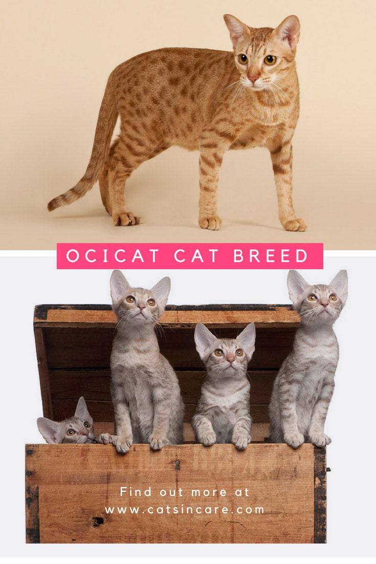 Ocicat Cat Breed