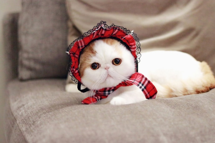 Exotic Shorthair : A Shorthair Persian cat Breed