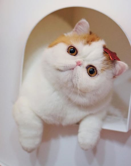 Exotic Shorthair : A Shorthair Persian cat Breed - Cats In Care