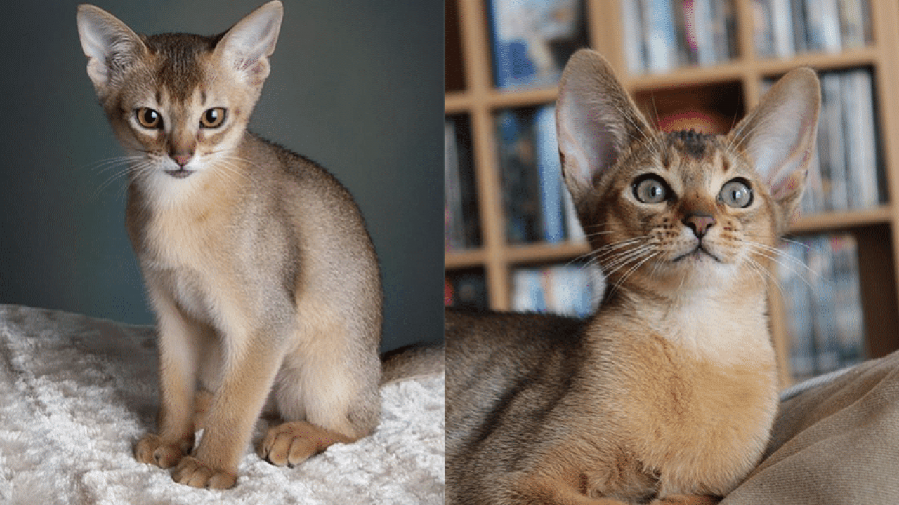 Abyssinian Cat Breeds - Cats In Care