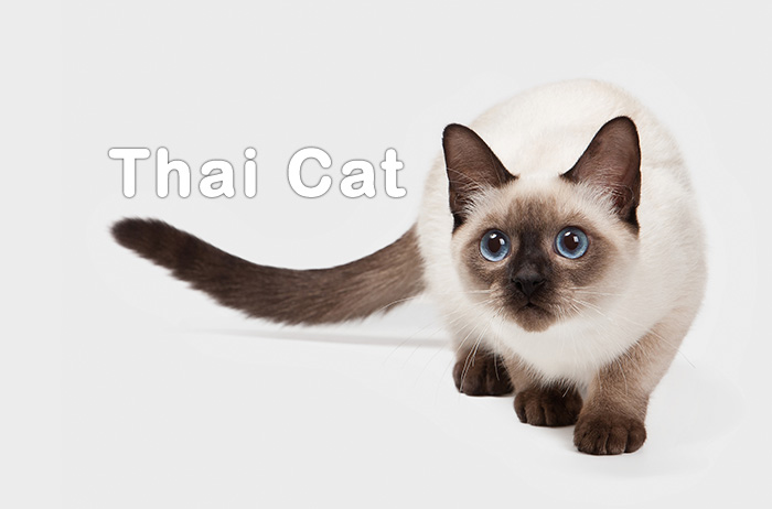 Thai Cat Breed