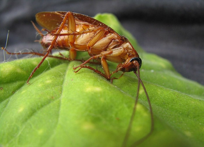 Do Cats Eat Roaches and It is Safe for Them?