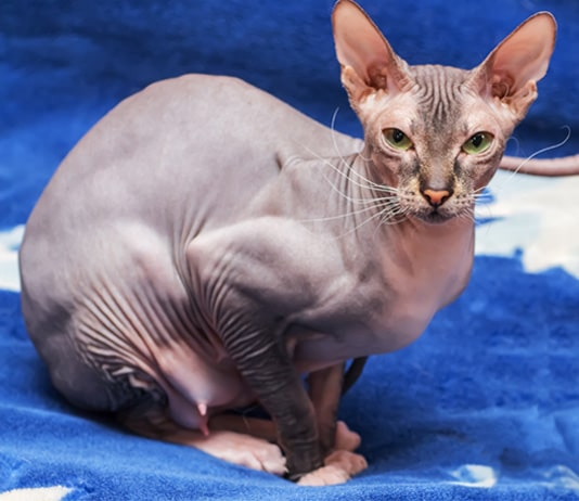 What is the Donskoy Cat?