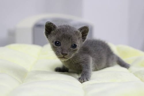 Grayish Blue and Lucky Korat Cat Breeds