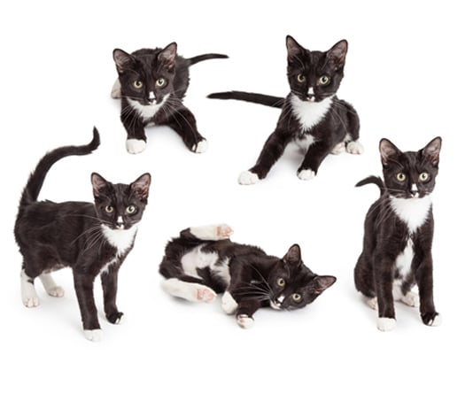 What Personality Makes The Tuxedo Cat Breed Different?