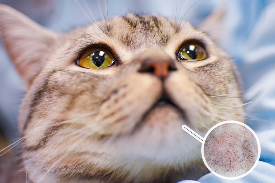 Steps In Treating Cat Acne Cats In Care