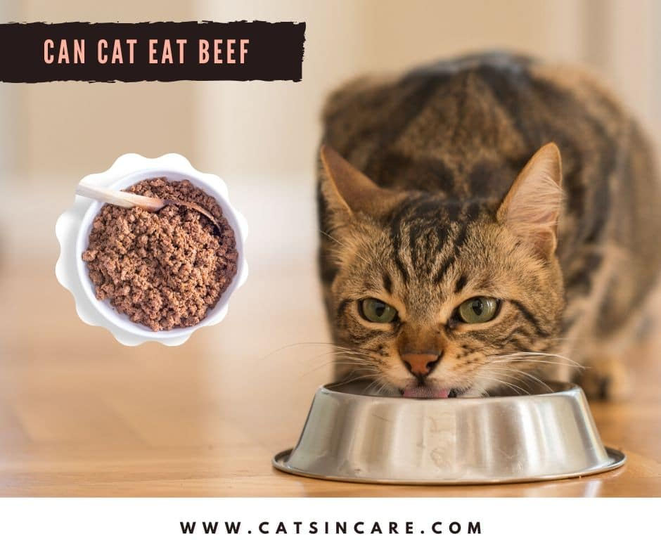 Can Cats Eat Beef in their daily diet?