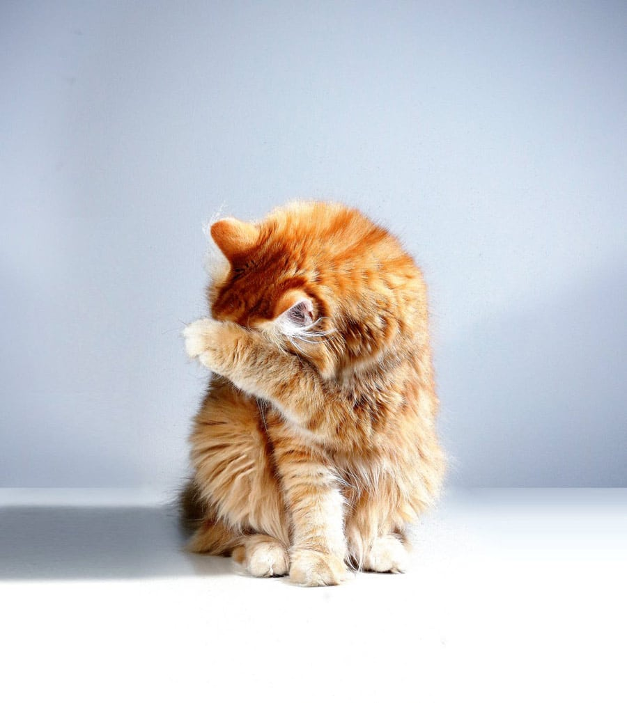 Steps in Treating Cat Acne
