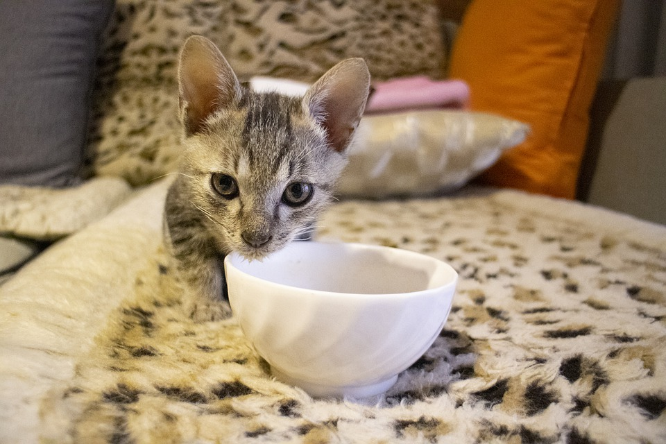 What Can I Feed My Kitten