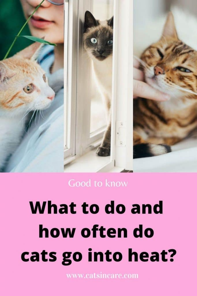 What to do and how often do cats go into heat?